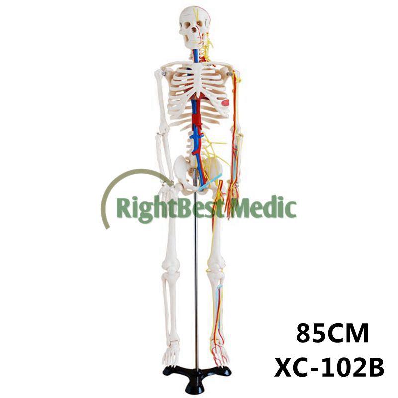 Finden Sie Hohe Qualität Menschlichen Anatomie Skelett Hersteller ...