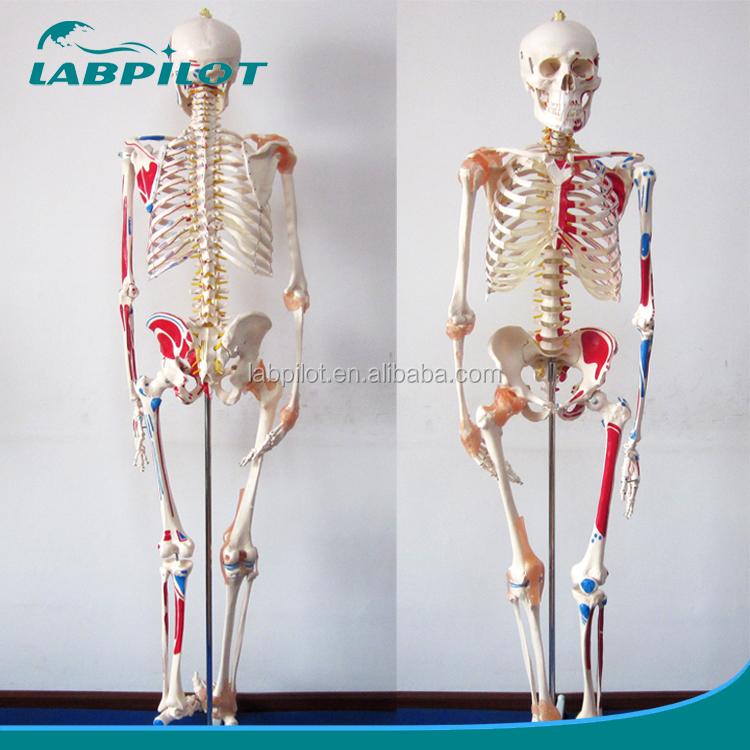 Flexible de color modelo de esqueleto con ligamentos y músculos ...