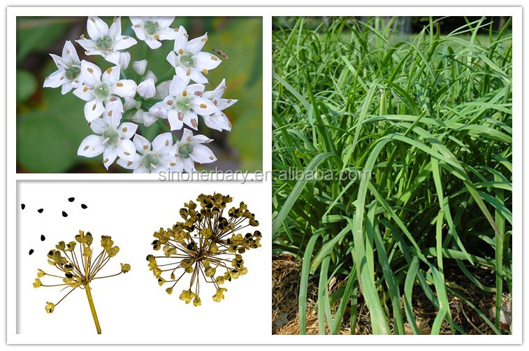 Fast Growing Hybrid Chinese Chives Seeds,Garlic Chives Seeds,Nira ...