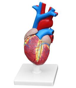 Plastic life size anatomical human heart model 2parts
