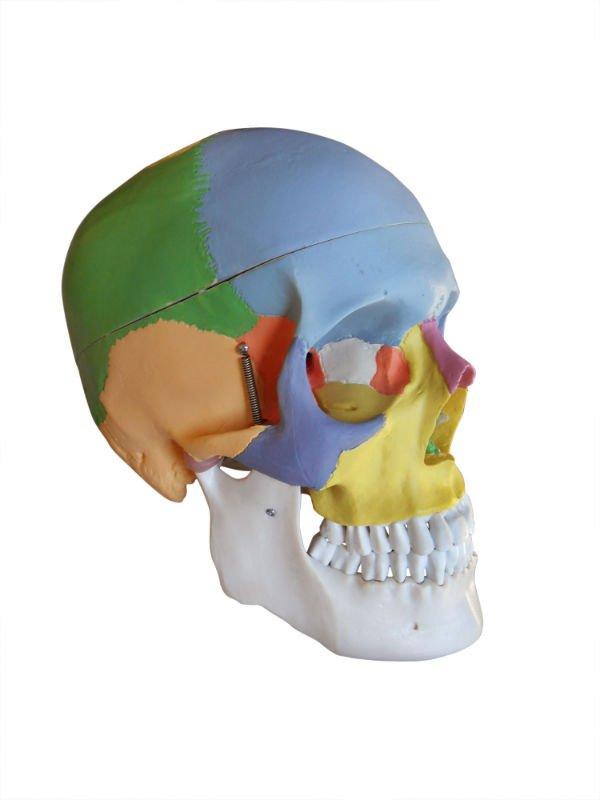 Catálogo de fabricantes de Huesos Humanos de alta calidad y Huesos ...