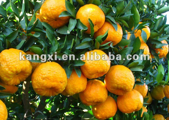 Ponkan Orange Seeds for planting