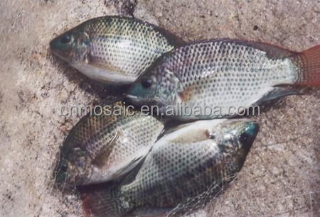Fish Production China Frozen Fish Gutted Black Tilapia