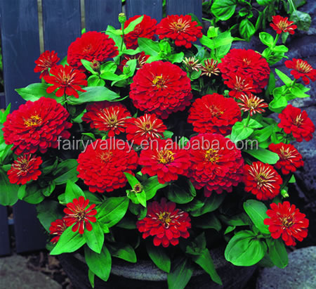 Beautiful Zinnias Flower Seeds For Planting Supply In Bulk For Your Garden