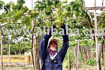 Grape Green Color Kind H2