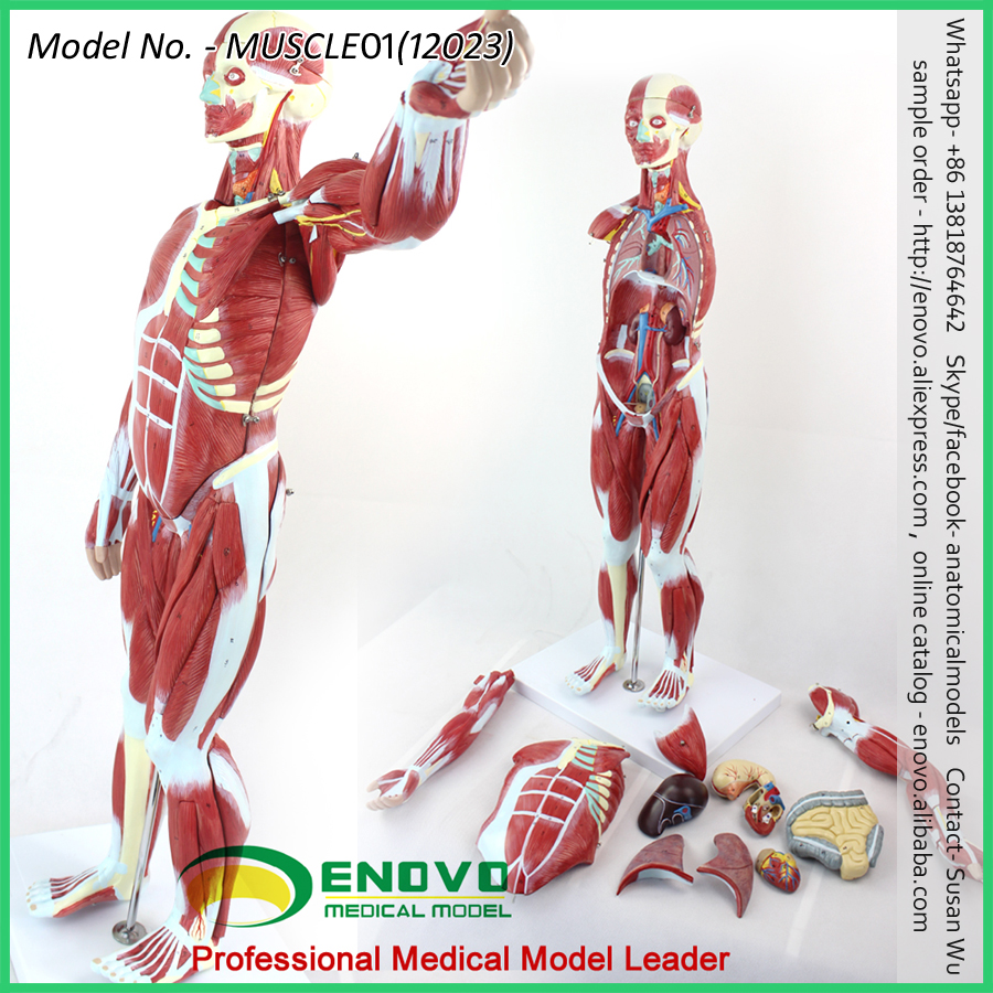 Super September Sell 12025 Medical Anatomy 7 Parts Upper Arm Muscle ...
