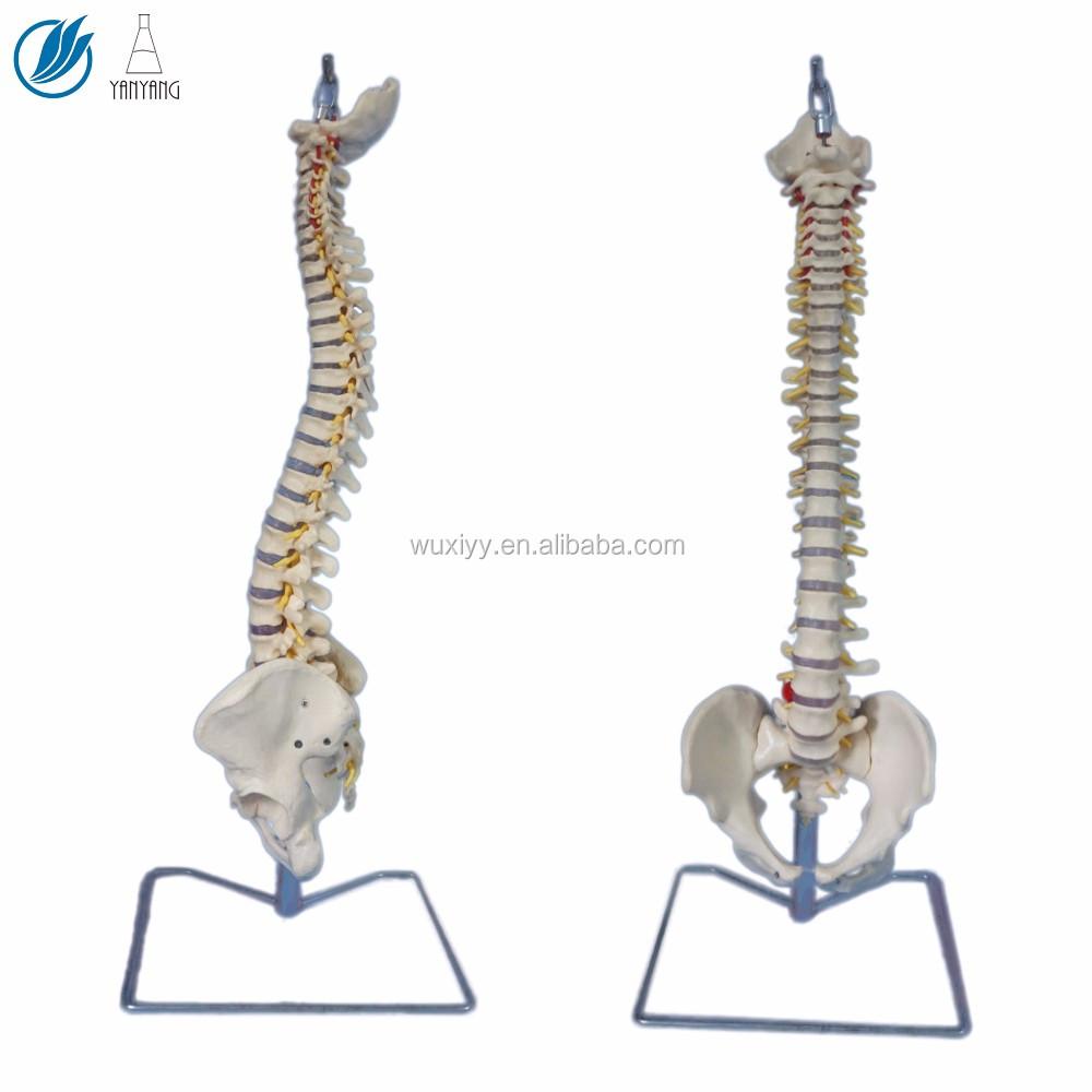 Artificial Medical Anatomical Spine Model Buy Artificial Medical