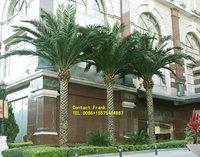Medjool Date Palm trees