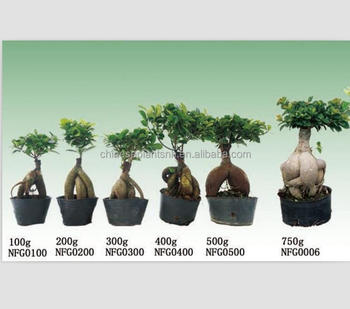 50g 3000g Ginseng Grafted Ficus Microcarpaus Bonsai Trees For Nursery