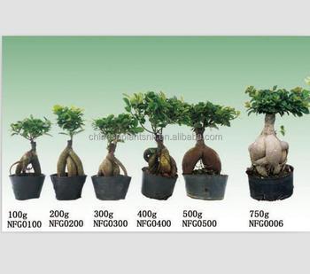 50g3000g Ginseng Grafted Ficus Ficus Microcarpaus Bonsai Bonsai Trees For Nursery