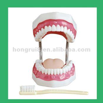 Dental Modelo,Modelo Cavidad Oral Modelo - Buy Modelo De Los Dientes ...