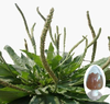 High Quality Natural Plantain Extract Powder 5:1 10:1 20:1