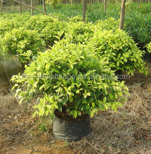 Evergreen Foliage Outdoor Landscaping