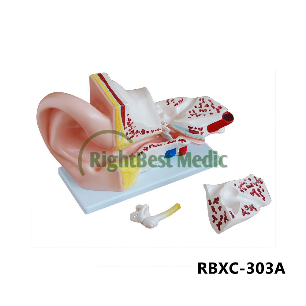 New Style Human Medical And Anatomy For Teaching,Display Giant Ear ...