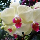 China supplier orchid seeds for sale low price phalaenopsis orchid seeds