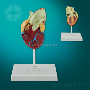 Hot Scale Buy Fake Medical Anatomical Plastic Human Heart 3d Model/  Artificial Medical Teaching Heart Disease Model - Buy Heart 3d Model,Small  Plastic