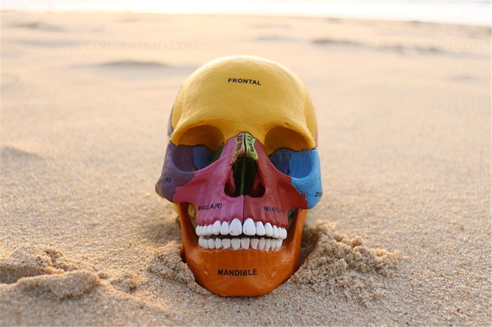 Human Skull Model Of Four Dimension Human Anatomyanatomia Model