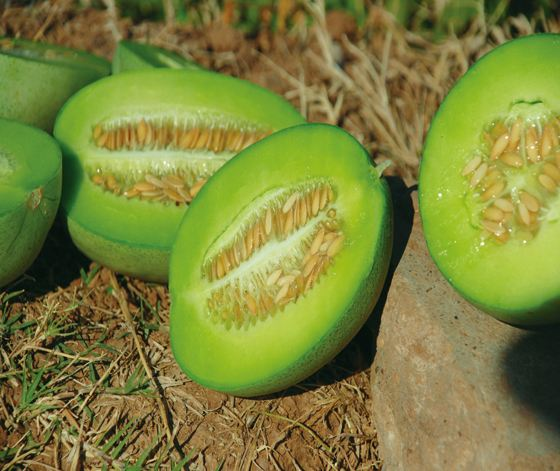 Hybrid F1 Green Sweet Melon Seeds For Growing-KT66