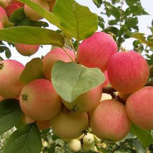 export bulk fresh delicious chinese cheap apple fruit rose apple Royal Gala Apple