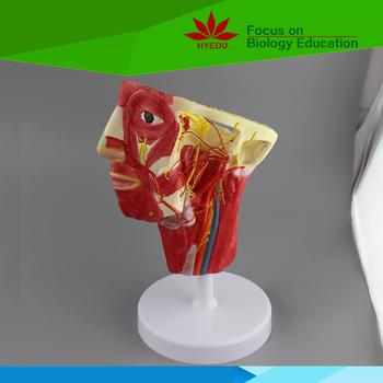Modelo Anatómico De La Cabeza Y El Cuello 3d Modelo De Anatomía ...