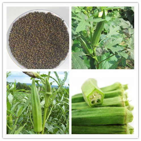 Top Quality Gumbo Healthy High Germination Chinese Okra Vegetable Seeds