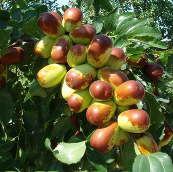 Jujube Tree New Arrival Fruit Grafted Yangtze Seedling From Nursery