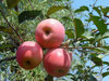 supply delicious new fresh qinguan apple