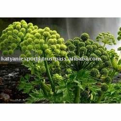 Using Manufacturing Method of Angelica Root Essential Oil
