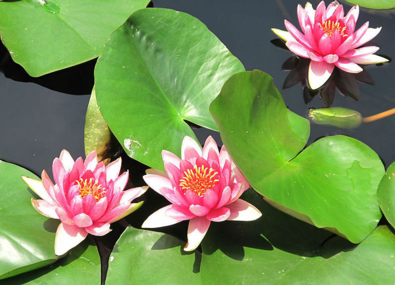 Blue Lotus Flower Seed Water Lily Seeds For Growing Buy Blue Lotus