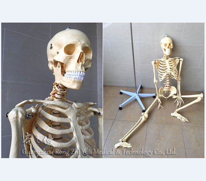 Realisticlife Sizeplastic Functional Human Skeleton Buy