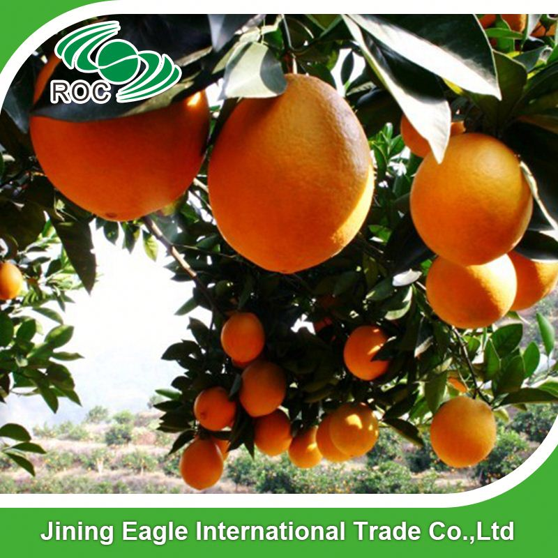 Best prices fresh succulent navel orange fruits for export