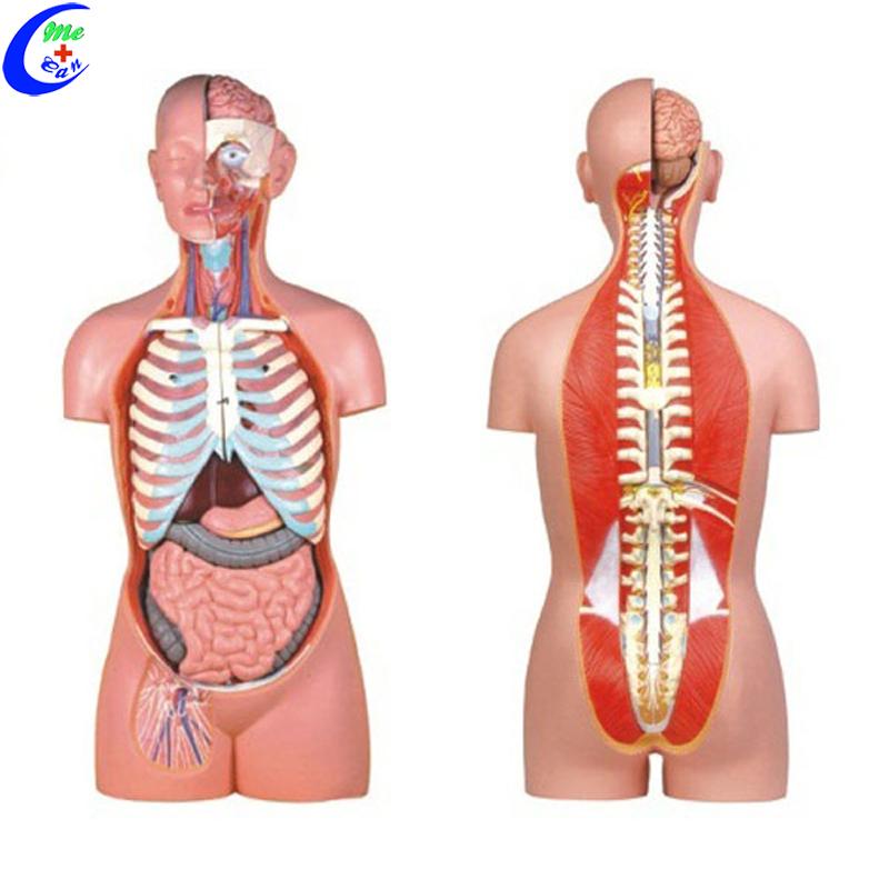 Medical 3d Human Anatomy Torso Model Buy Medical Anatomyhuman