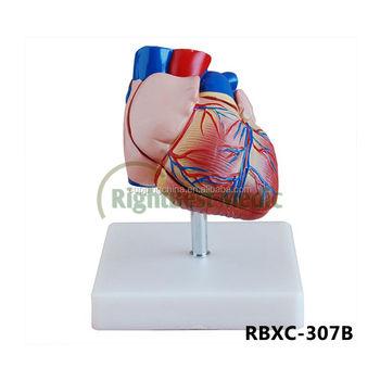 New Style Life-size Heart Model Heart Anatomy Model - Buy New Style ...