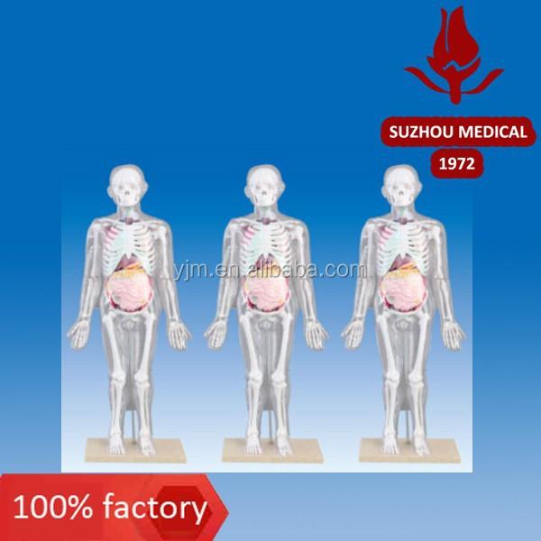 Human Skeleton Human Skeleton Suppliers And Manufacturers At