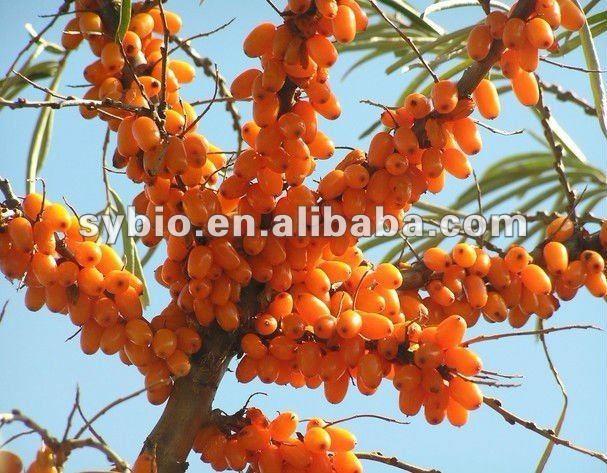 Seabuckthorn seed oil,berry oil Co2 super critical extract