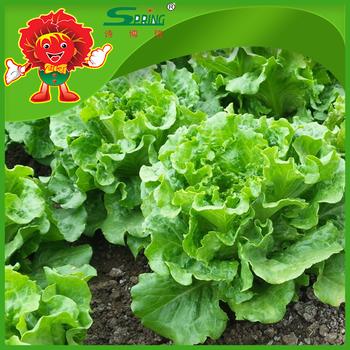 Chinese Names Lettuce Manufacturer Green Leaf Lettuce