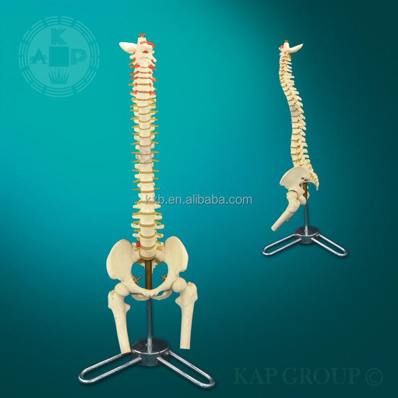 Advanced Pvc Flexible Medical Human Spine Anatomical Model For