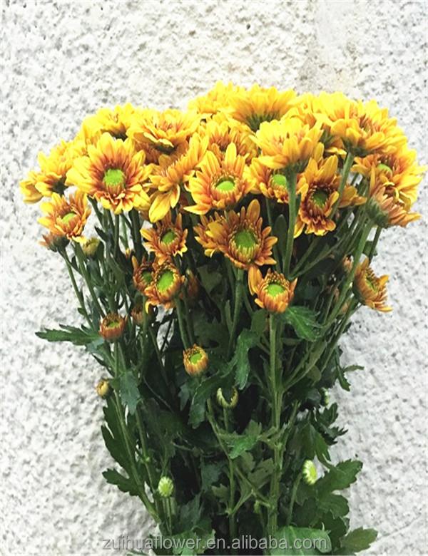 Natural Fresh Cut Chrysanthemum Dog Flower - Buy Price Chrysanthemum ...
