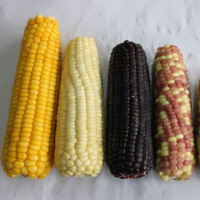 Frozen Sweet Corn Whole and Sweet corn Cob