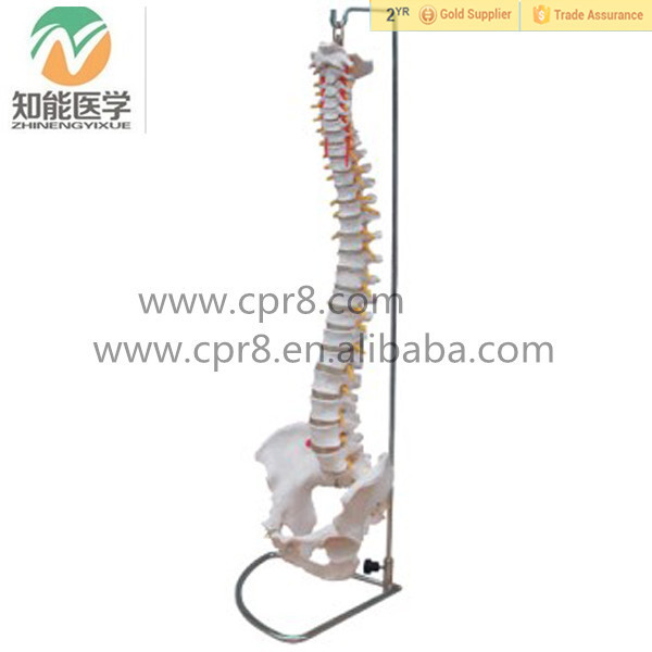 BIX-A1009 Flexible Life Size Human Skeleton Spine Model