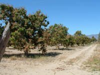 Organic Mango Ranch for Sale