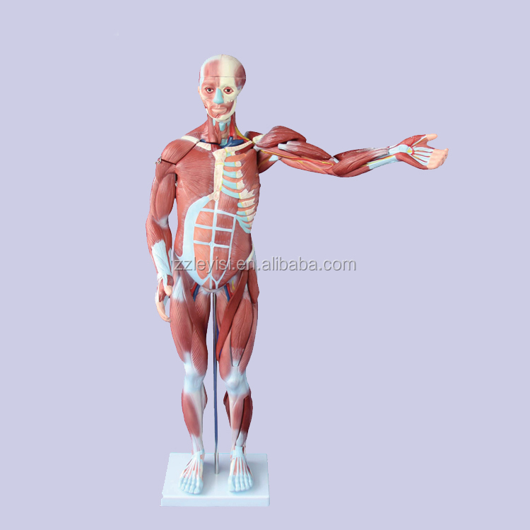 80CM human muscle model ,27 parts body muscle for teaching medical