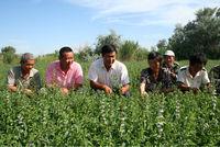 Heirloom Spearmint Mentha Spicata Mint Pennyroyal Herb Perennial Flower Seeds For Sale