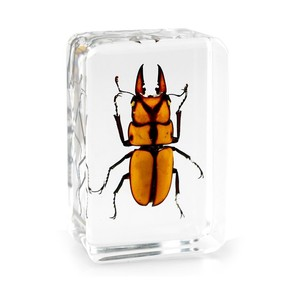 Real Prosopocoilus Beetle Frozen in Clear Lucite Paperweight