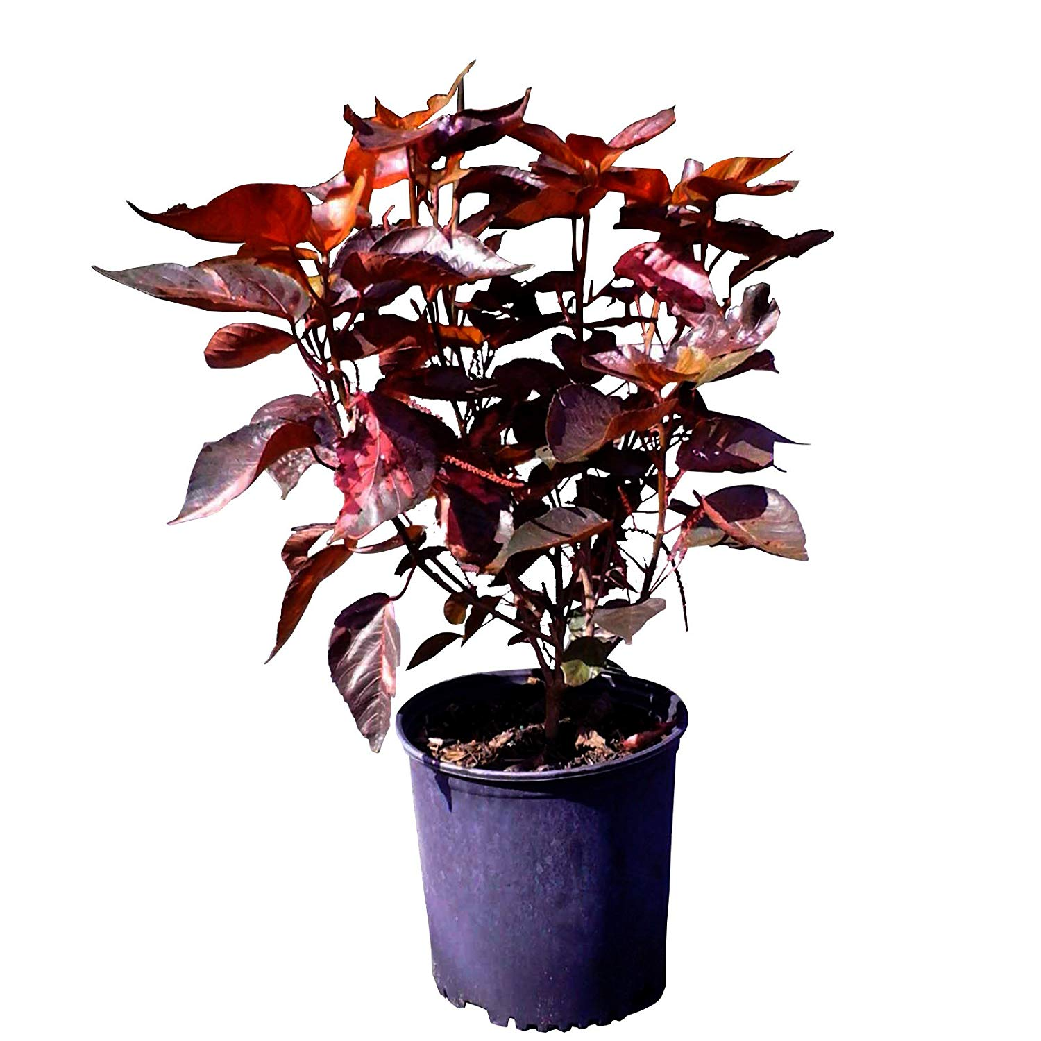 Cheap Acalypha Indica Find Acalypha Indica Deals On Line At Alibabacom
