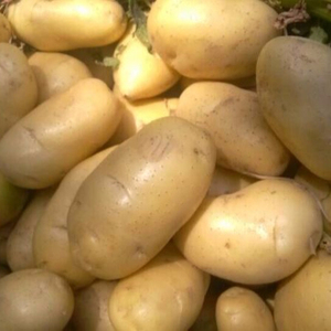 Fresh potato/Fresh holland potatoes