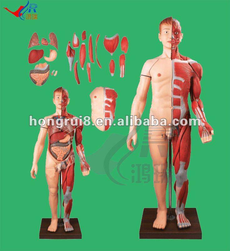 Hr/a10001 Los Músculos Del Cuerpo Humano Con Órganos Internos,Cuerpo ...