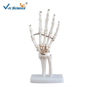 Life size anatomical skeleton handhand bone modelhuman skeleton life size anatomical skeleton hand hand bone model human skeleton hands ccuart Choice Image