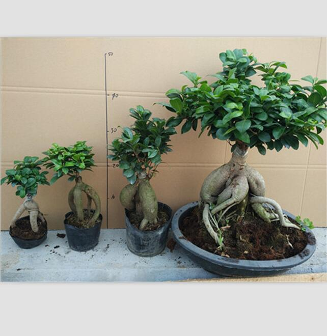 50g 3000g Ginseng Grafted Ficus Bonsai Ginseng Ficus Bonsai Trees