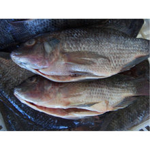 China Top Quality Seafood Frozen Gutted Fish Tilapia All sizes